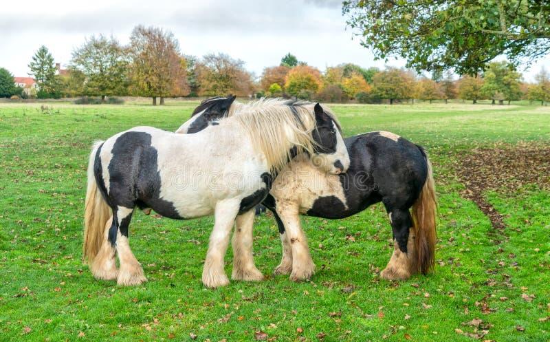 Лошади графства на общем Minchinhampton; Cotswolds; G стоковые изображения rf