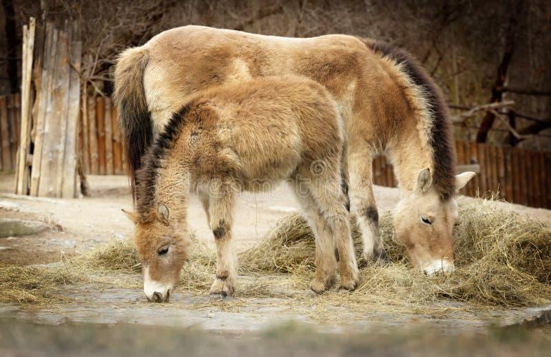 2 лошади едят сено, монгольскую дикую лошадь стоковое фото rf
