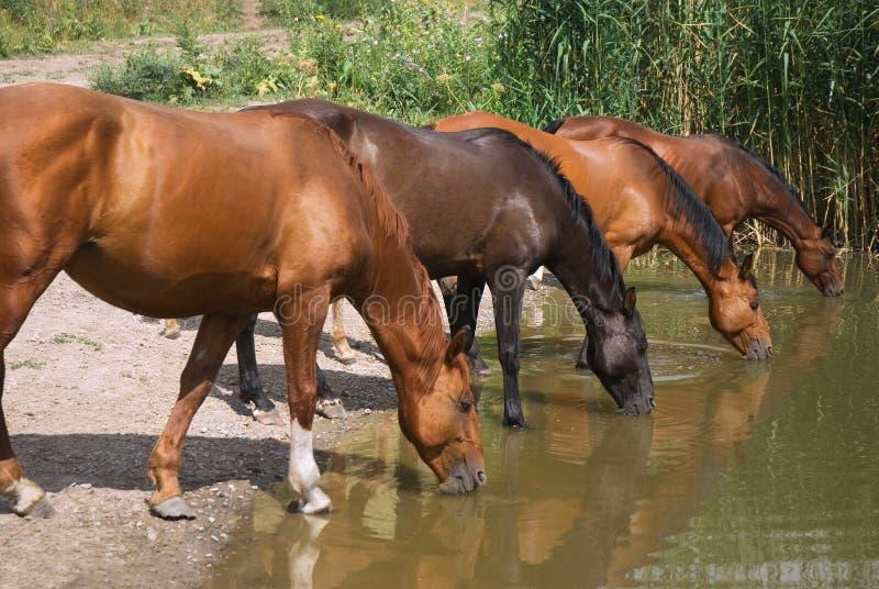 лошади испытывающий жажду стоковая фотография