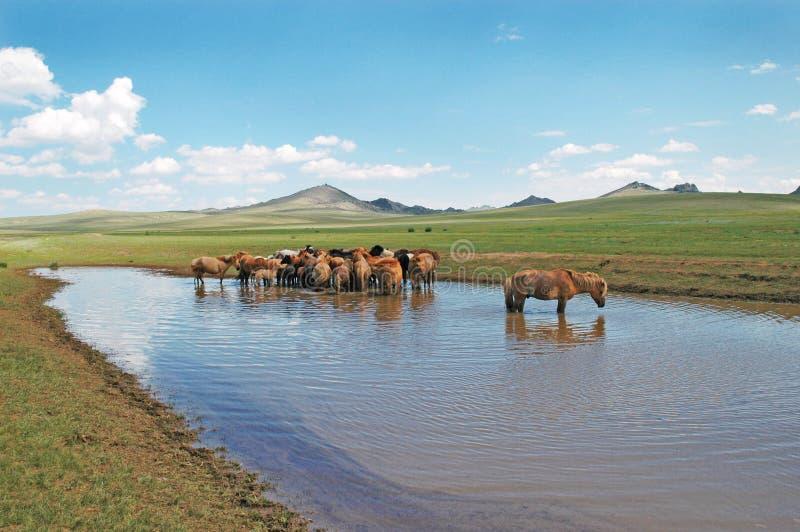 лошади Монголия Стоковая Фотография RF
