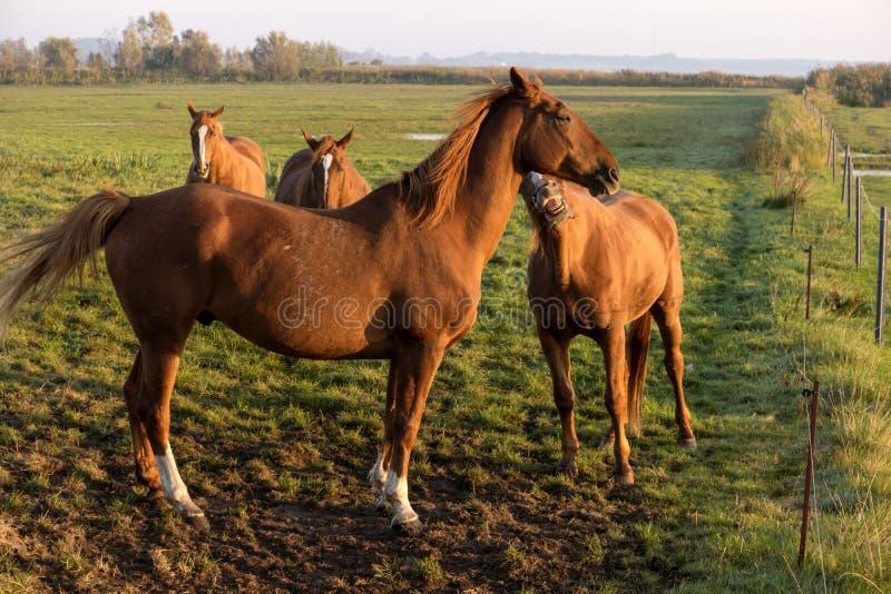 Лошади на зоре на Fischland стоковые фотографии rf