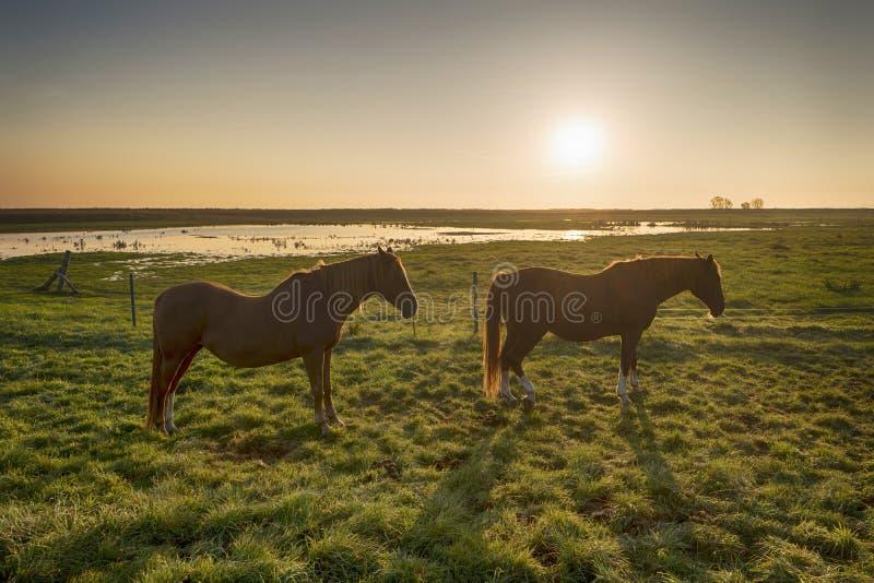 Лошади на зоре на Fischland стоковые фото