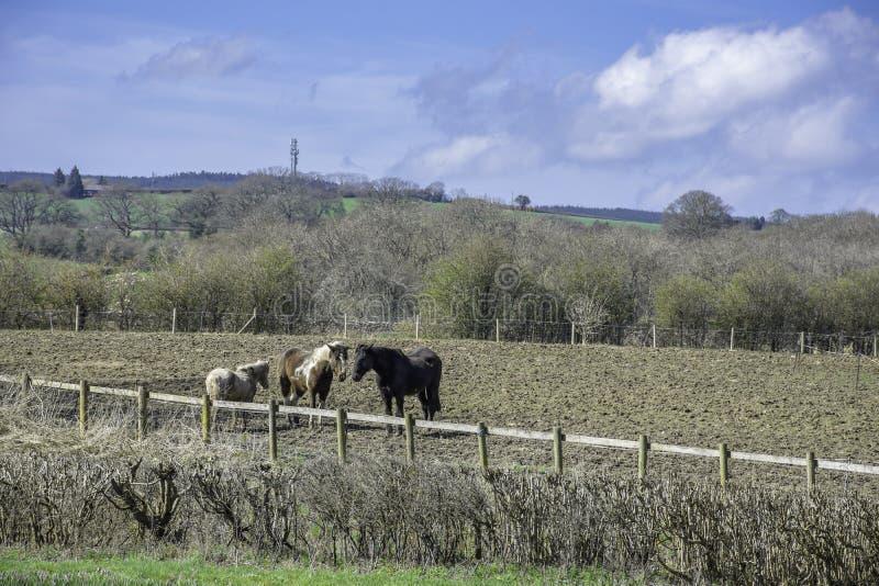 Лошади на поле, животные и ландшафт, Великобритания стоковые фотографии rf