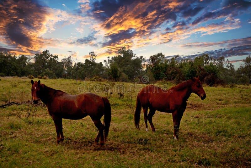 2 лошади на сельскохозяйственных угодьях на заходе солнца стоковые фотографии rf