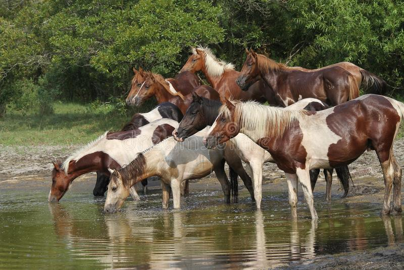 Лошади на Waterhole во время обзора стоковое фото