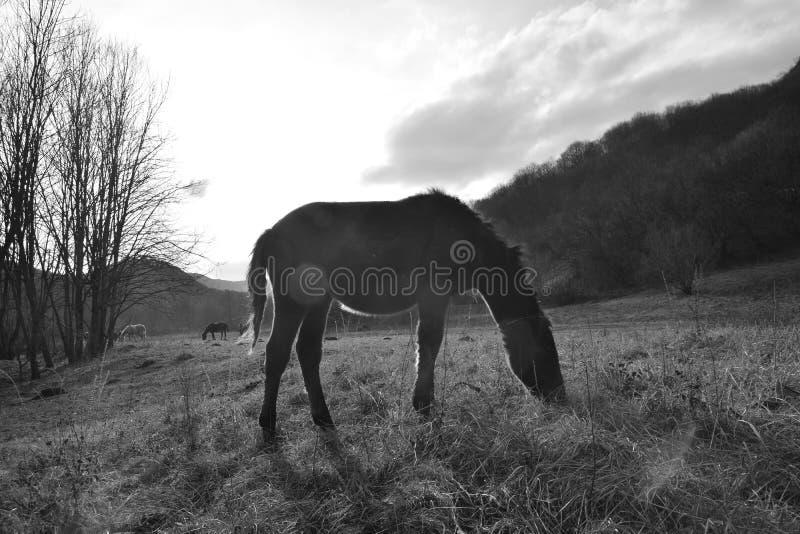 2 лошади один пасти белизны одного черный на открытом луге стоковые фото