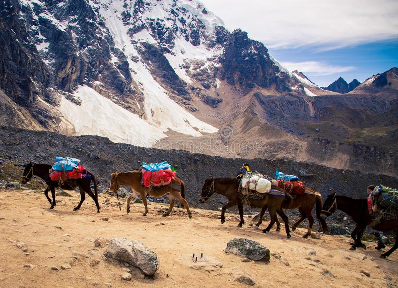 Лошади пакета в горах Анд стоковые фотографии rf