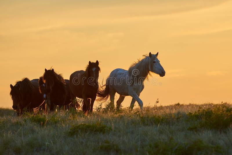 Лошади пасут на выгоне на заходе солнца стоковое изображение rf