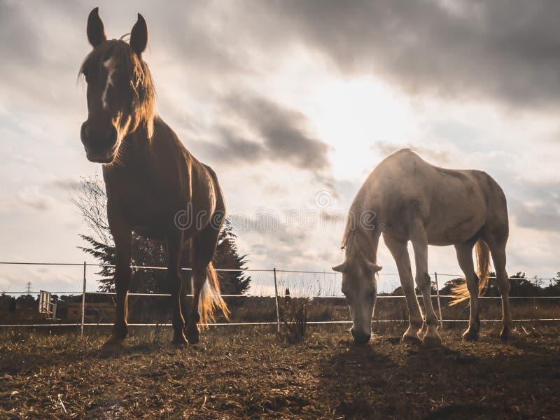 2 лошади пася на заходе солнца стоковая фотография