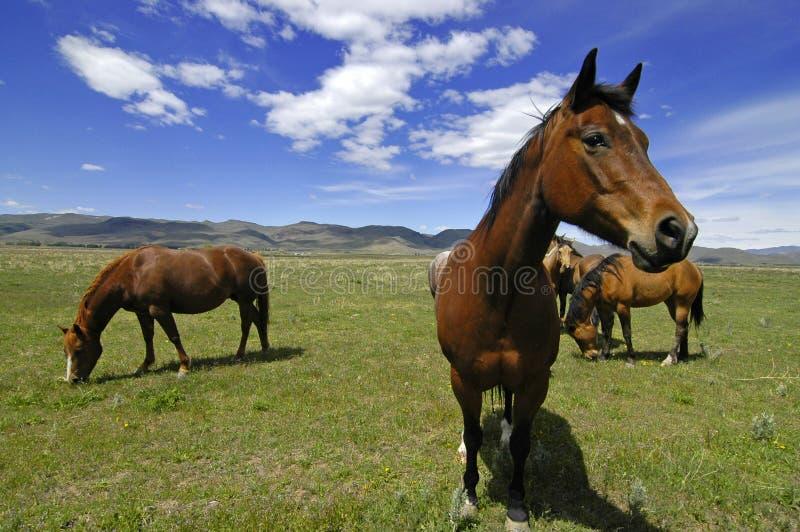 лошади поля стоковое изображение