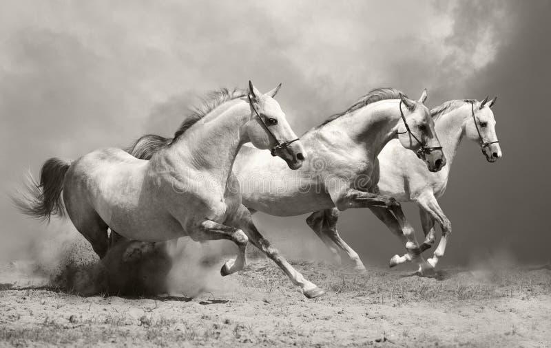 лошади пыли белые стоковые изображения