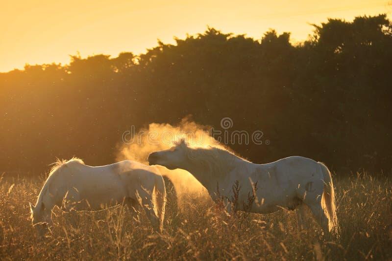 Лошади, пыль, и свет стоковое фото