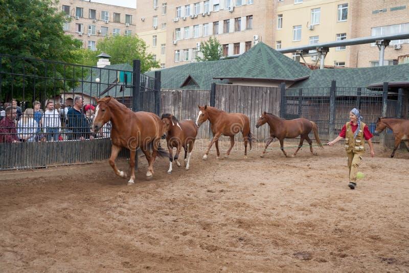 Лошади старшей женщины тренируя в зоопарке 7 07 2018 стоковое изображение
