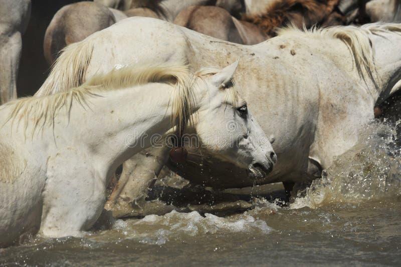 лошади табуна camargue стоковые фото