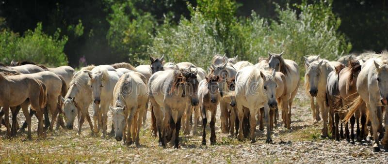 лошади табуна camargue стоковое изображение rf