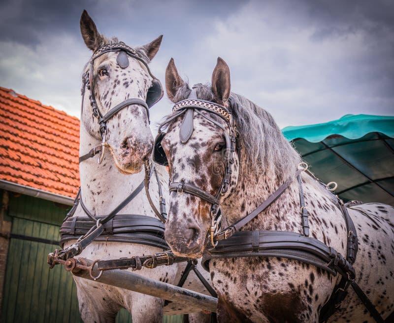 Лошади Apaloosa вытягивают экипажа стоковая фотография rf