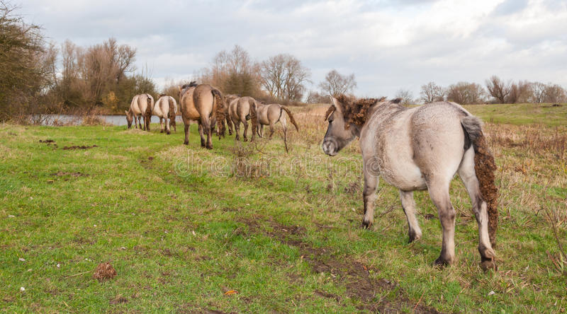 Лошади Konik в сельском ландшафте в осени стоковое фото