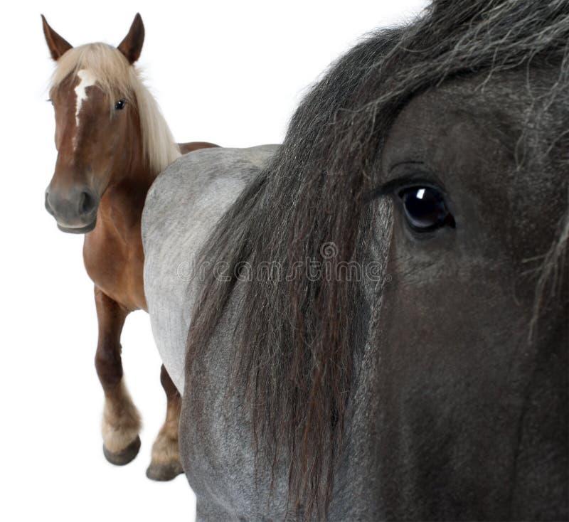 лошадь бельгийца близкая вверх стоковое изображение rf