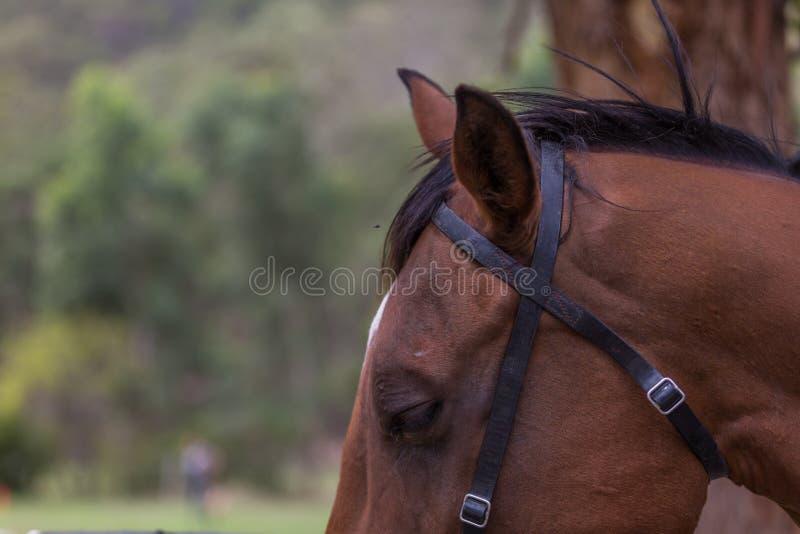 Лошадь близкая вверх на голове стоковые фотографии rf