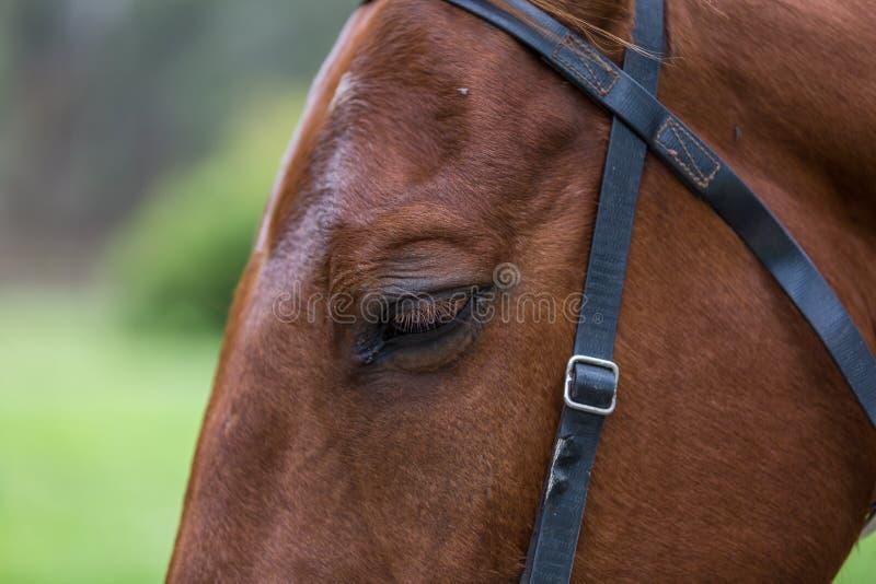 Лошадь близкая вверх на голове стоковые фото