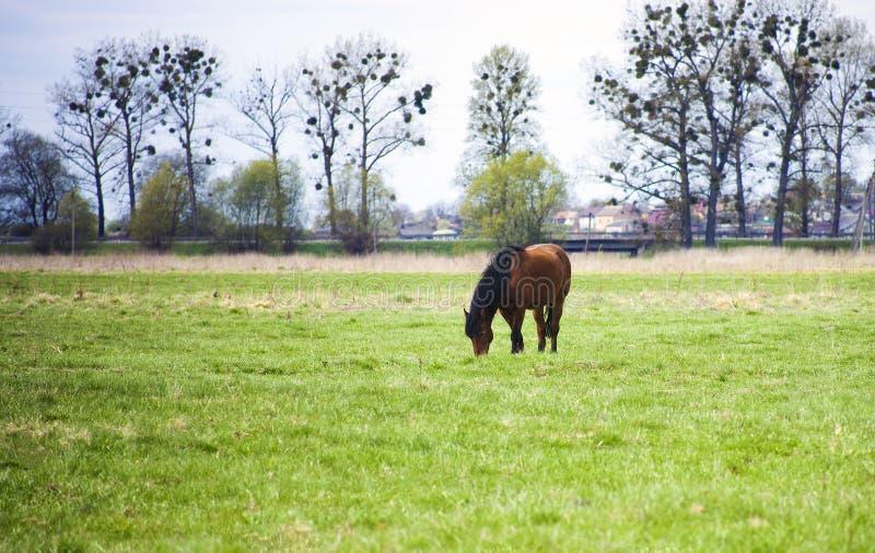 Лошадь Брайна с черной гривой пася в поле стоковое фото