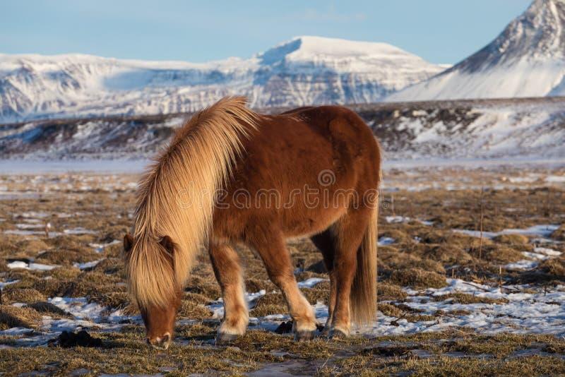 Лошадь Брауна исландская Исландская лошадь порода лошади начатая в Исландии Группа в составе исландские пони в выгоне стоковые изображения