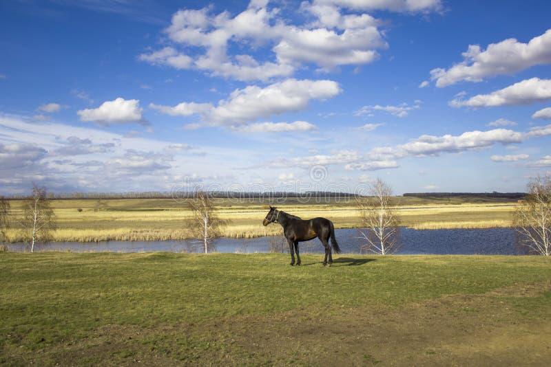 Лошадь Брауна на зеленом луге весны против фона долины с рекой и сухих тростников под ярким голубым небом стоковые изображения