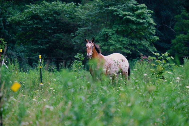 Лошадь в зеленом выгоне лета стоковая фотография