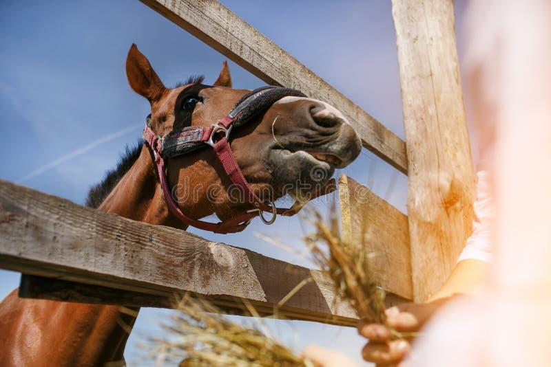 Лошадь в проводке ест сено стоковая фотография rf