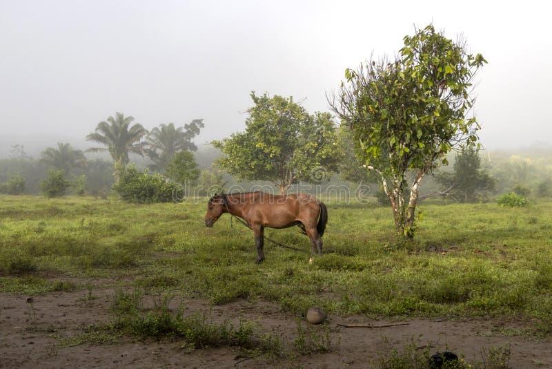 Лошадь в тумане на джунглях обрабатывает землю в Южной Америке стоковая фотография rf