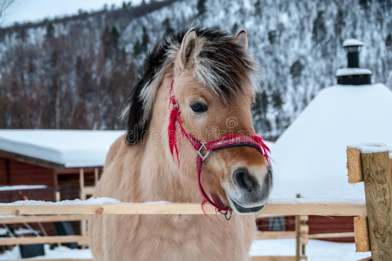 Лошадь в ферме около границы Норвегии стоковая фотография