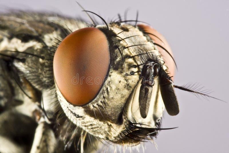 лошадь головки мухы сложного глаз огромная стоковые фотографии rf