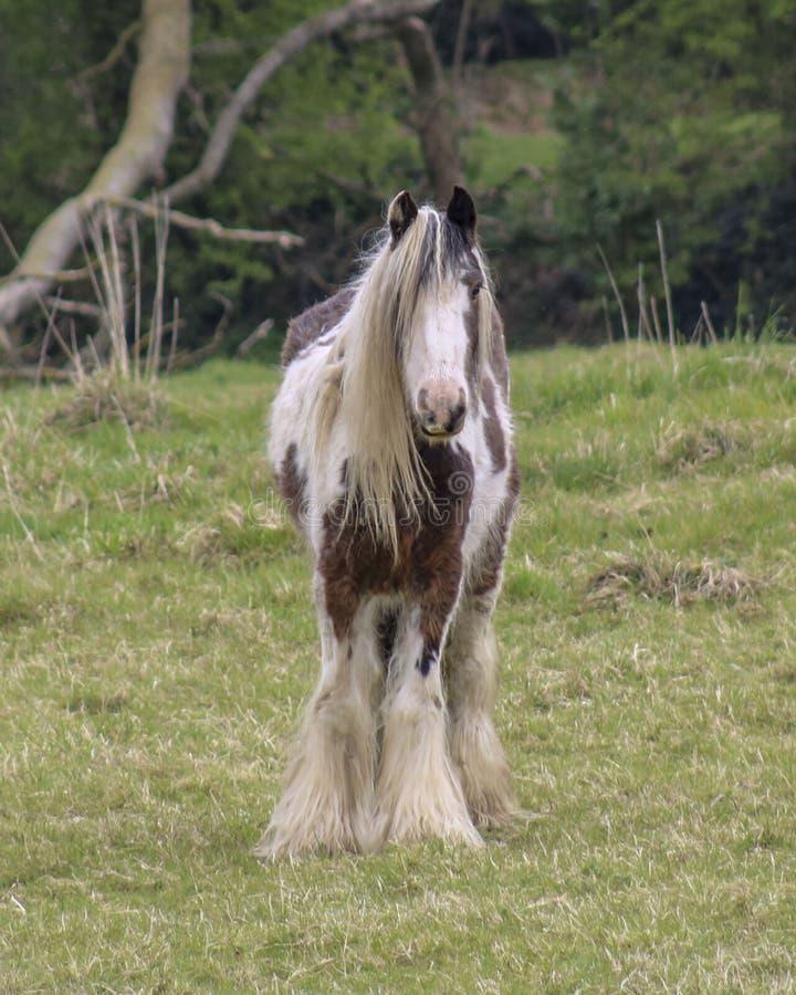 Лошадь графства стоковая фотография