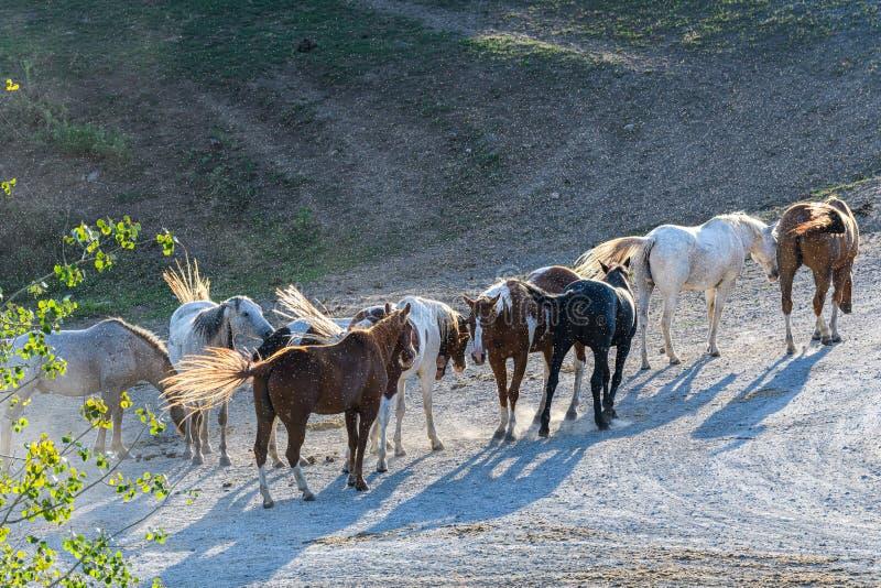 Лошадь, ждущая в жучке, заполнилась ранним утром светом, штат Восточный Вашингтон стоковое фото rf