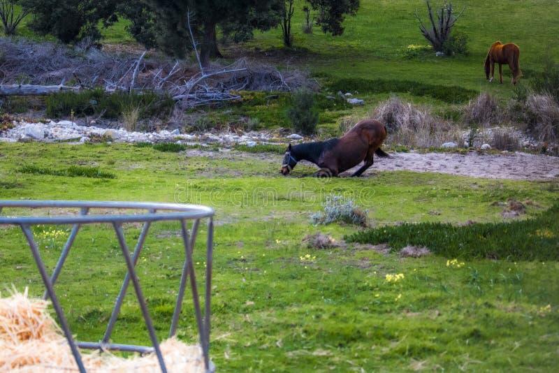 Лошадь жеребца падая к полу с конематкой на заднем плане стоковые изображения rf