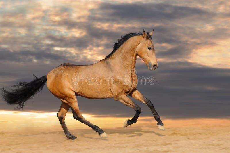 лошадь залива galloping стоковое изображение