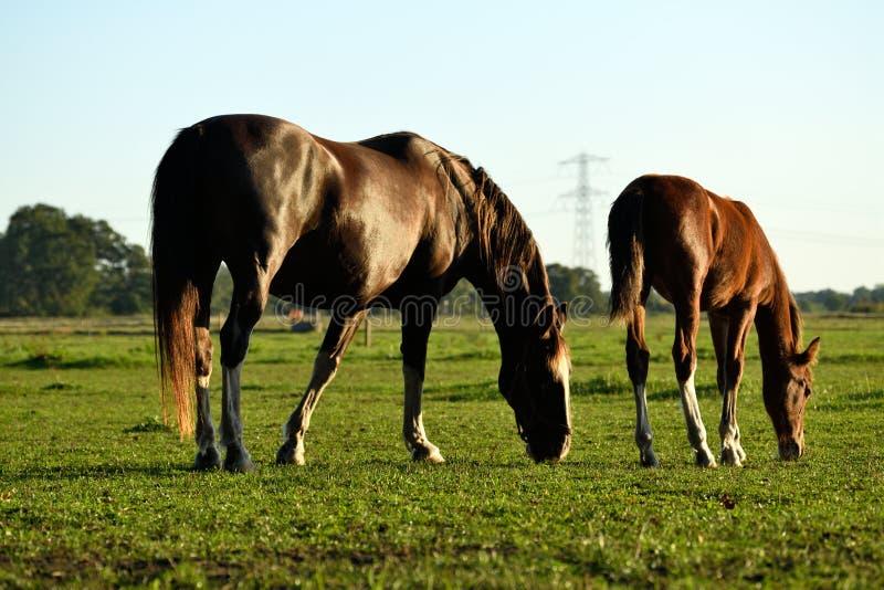 Лошадь и ее филли выпаслись на поле, когда солнце заходит стоковое фото rf