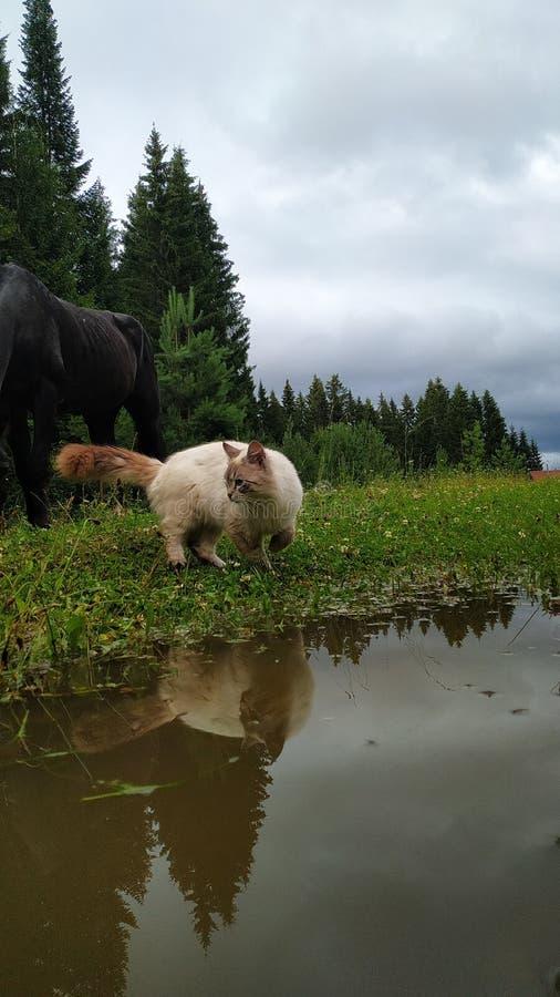 Лошадь и кот в реке стоковое фото rf