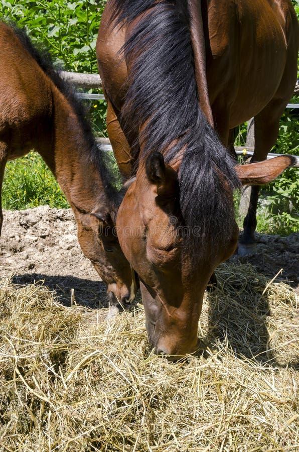 Лошадь и новичок в ферме в Лигурии стоковые изображения rf