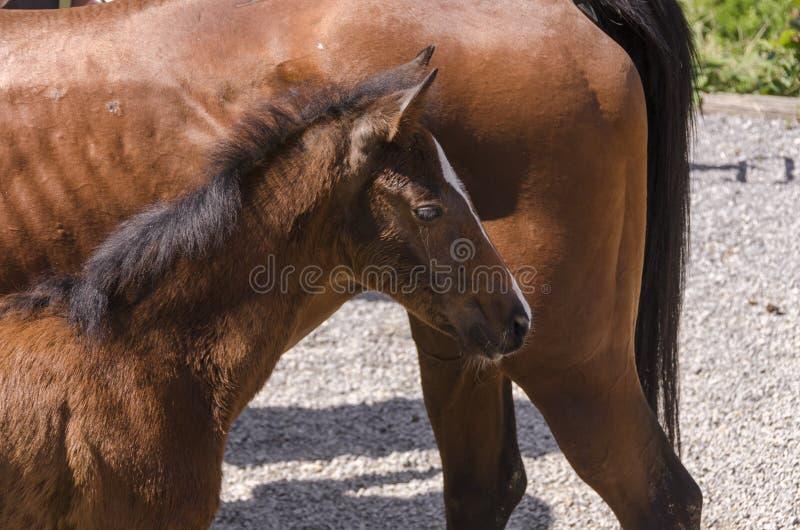 Лошадь и новичок в ферме в Лигурии стоковая фотография rf