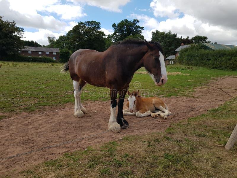Лошадь и осленок стоковая фотография