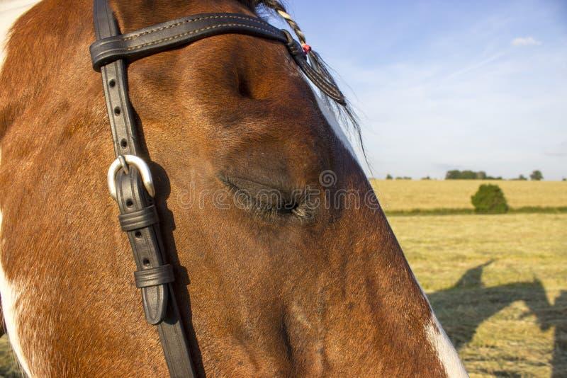 Лошадь и свои тень и деталь его закрытого глаза стоковые изображения