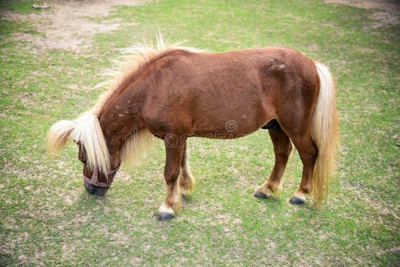 лошадь карлика стоковые фотографии rf