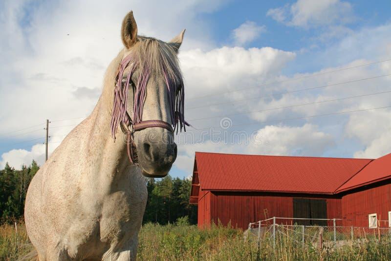 лошадь картежника стоковая фотография rf