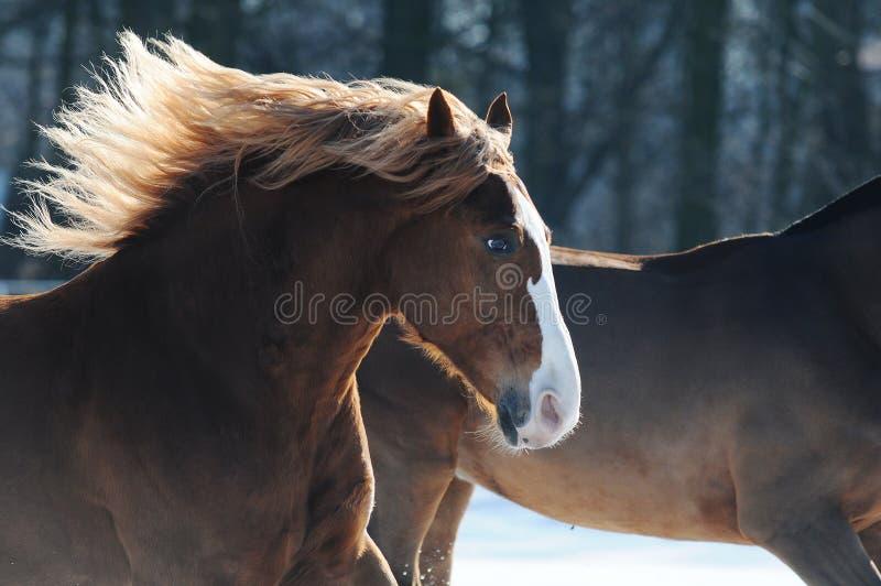 Лошадь каштана с длинной гривой скача галопом на поле в зиме стоковое фото