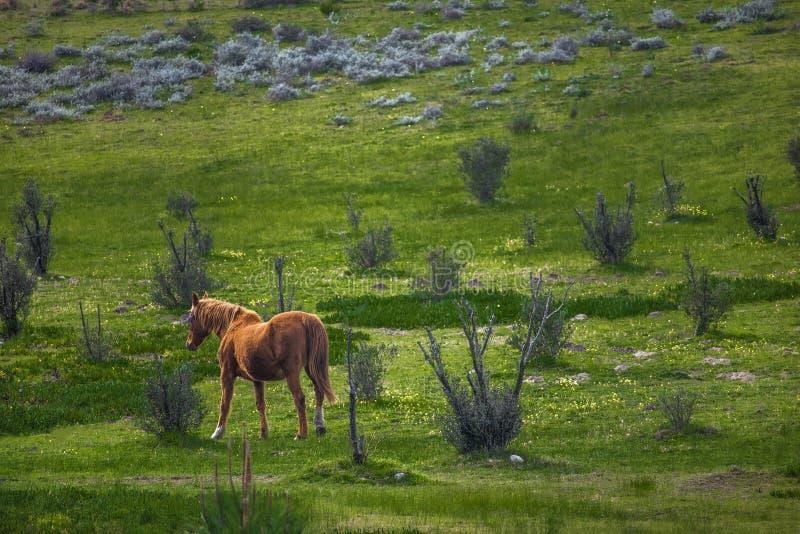 Лошадь конематки идя через зеленое поле на ферме стоковое фото