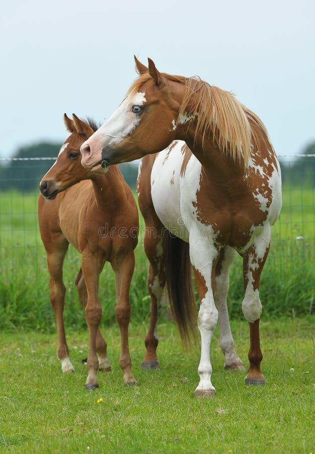 Лошадь краски стоковое изображение
