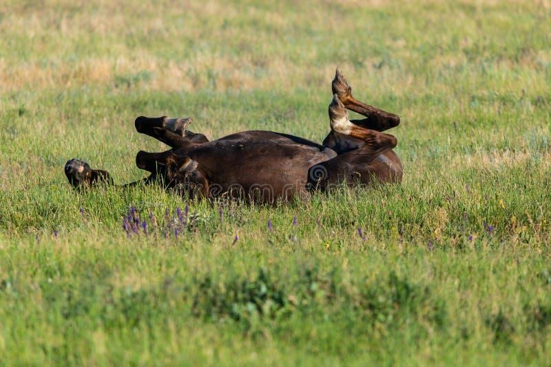 Лошадь лежа в зеленой траве на луге стоковые изображения rf