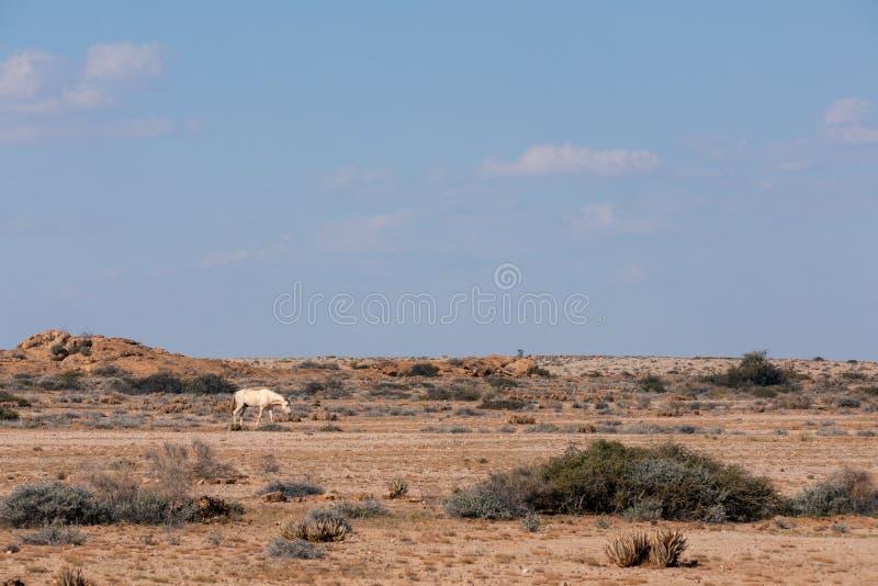 Лошадь Намибия пустыни Namib дикая, Африка стоковые фотографии rf