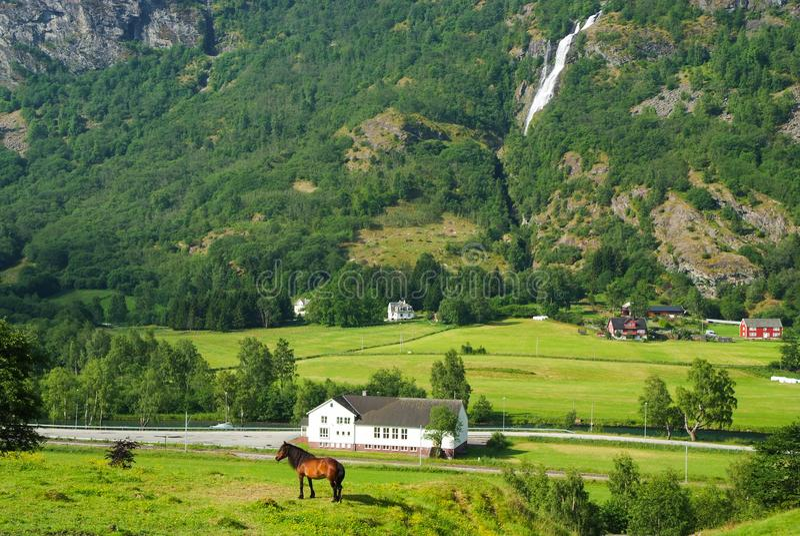 Лошадь на выгоне травы на ландшафте горы в Flam, Норвегии Лошадь на день зеленого луга солнечный Ландшафт лета с стоковые изображения